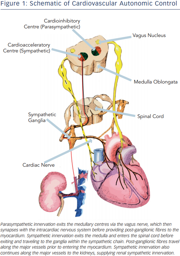 Autonomic Nervous System Cardiac Electrophysiology