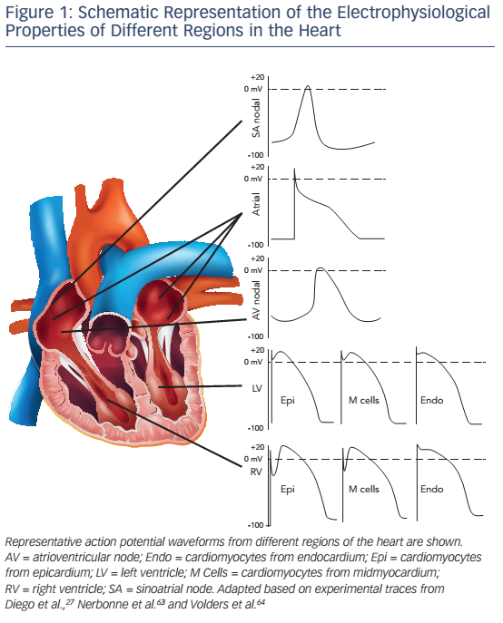 Figure 1: Schematic Representation of the Electrophysiological Properties of Different Regions in the Heart