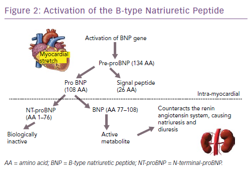 Activation of the B-type Natriuretic Peptide