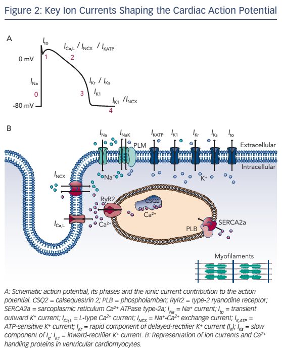 Figure 2: Key Ion Currents Shaping the Cardiac Action Potential