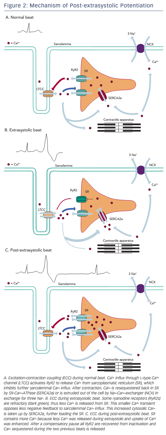 Figure 2: Mechanism of Post-extrasystolic Potentiation