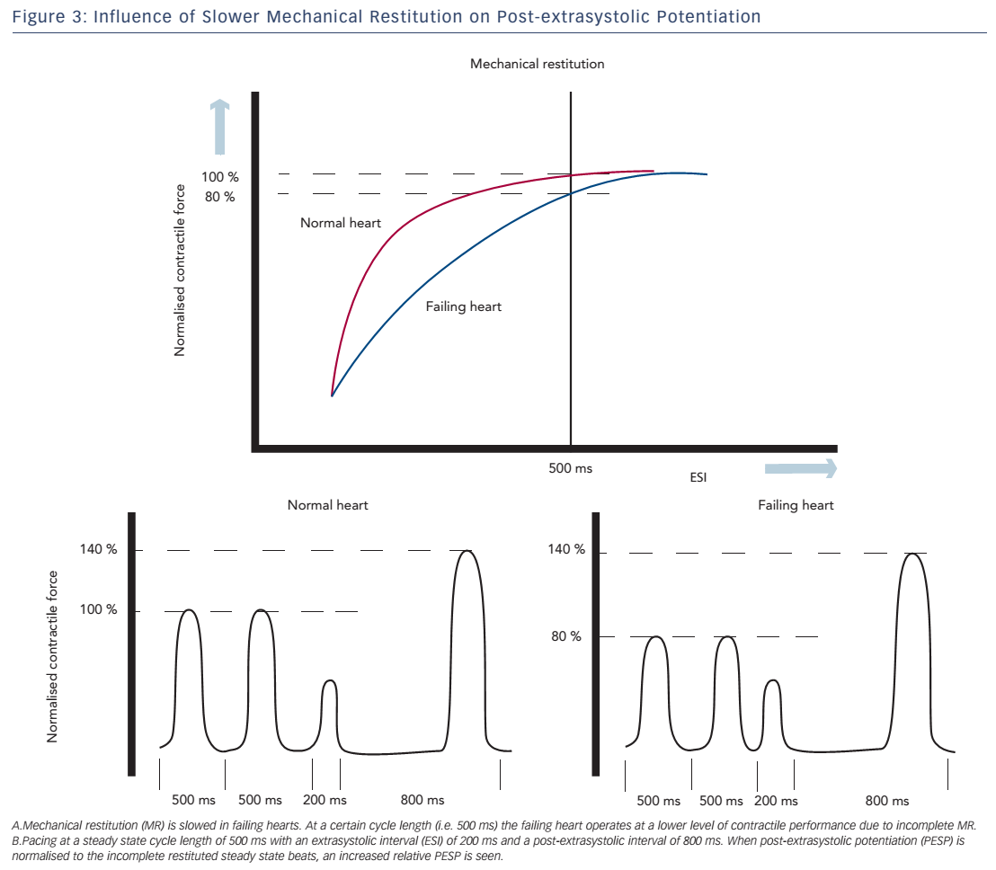 Figure 3: Influence of Slower Mechanical Restitution on Post-extrasystolic Potentiation