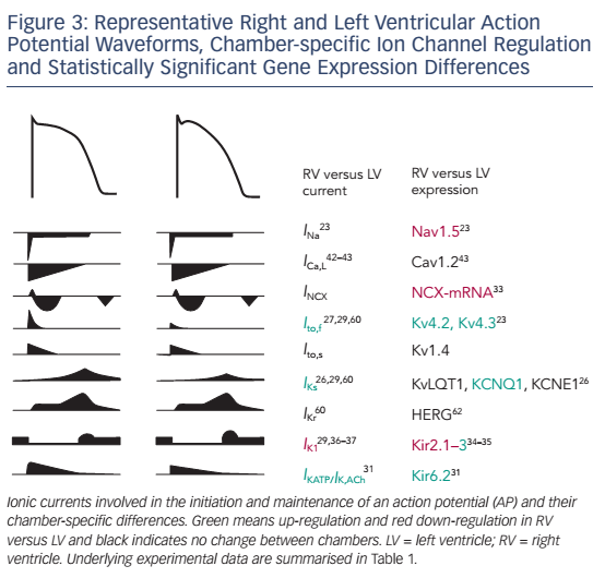 Figure 3: Representative Right and Left Ventricular Action Potential Waveforms, Chamber-specific Ion Channel Regulation and Statistically Significant Gene Expression Differences