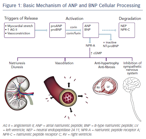 Basic Mechanism of ANP and BNP Cellular Processing