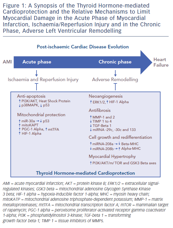 Figure 1: A Synopsis of the Thyroid Hormone-mediated Cardioprotection
