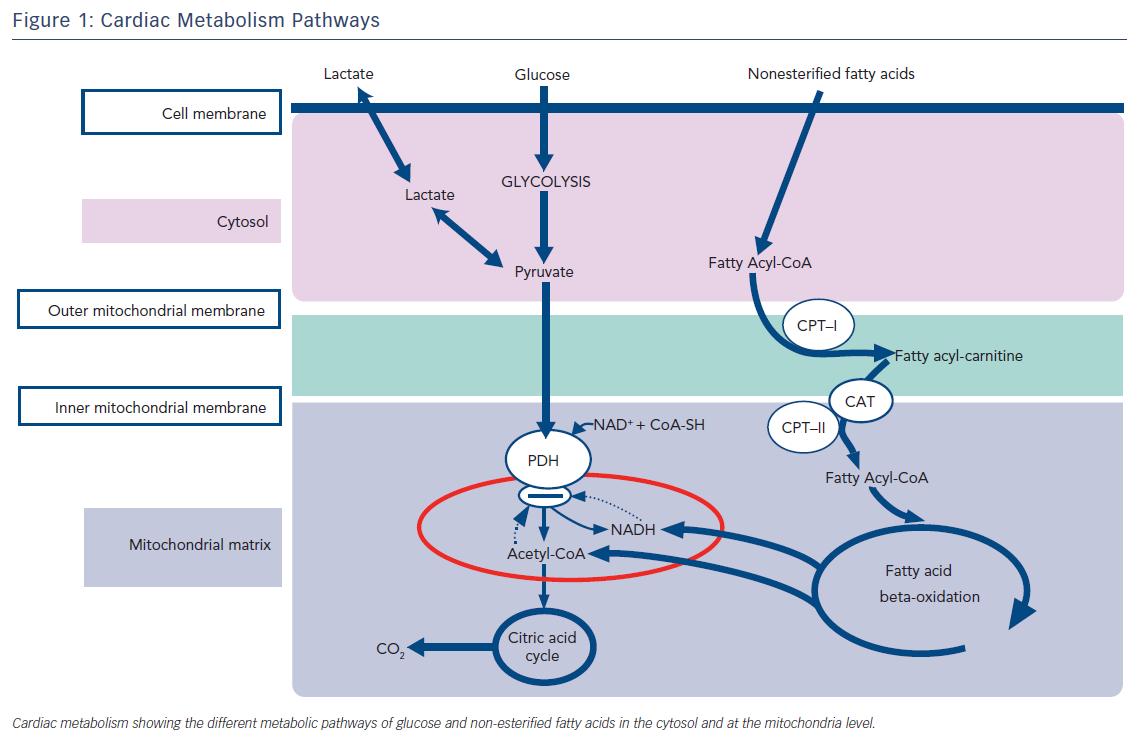 Figure 1: Cardiac Metabolism Pathways