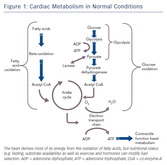 Cardiac Metabolism in Normal Conditions