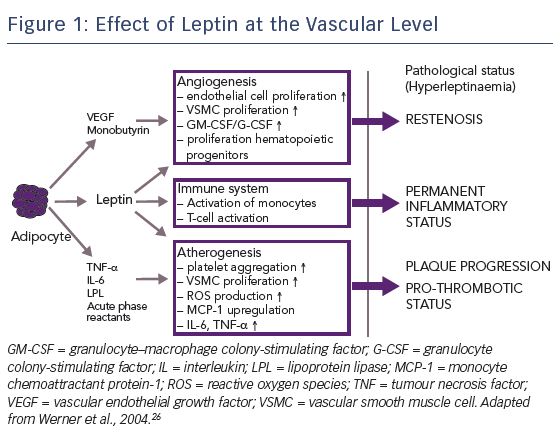 Figure 1: Effect of Leptin at the Vascular Level