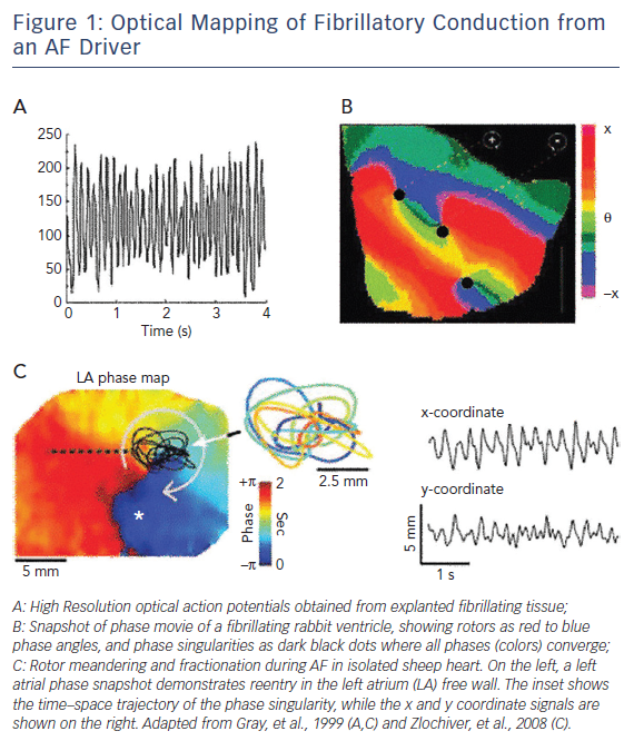 Figure 1: Optical Mapping of Fibrillatory Conduction from an AF Driver