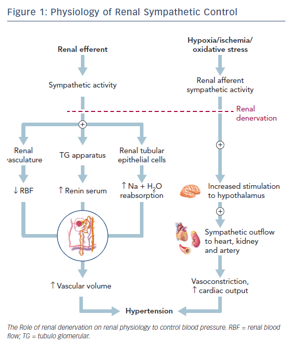 Physiology of Renal Sympathetic Control