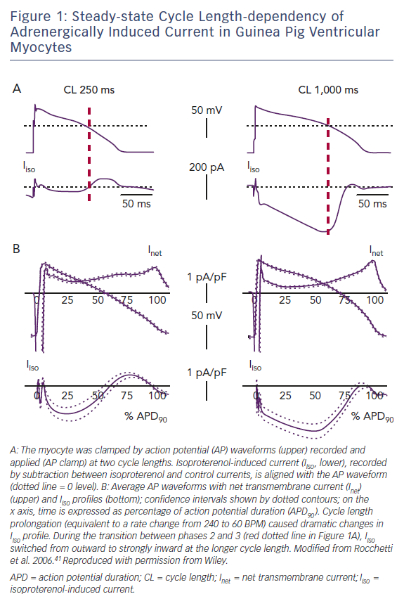 Steady-state Cycle Length-dependency of Adrenergically Induced Current in Guinea Pig Ventricular Myocytes