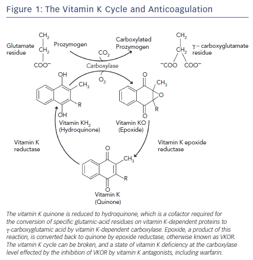 Figure 1: The Vitamin K Cycle and Anticoagulation