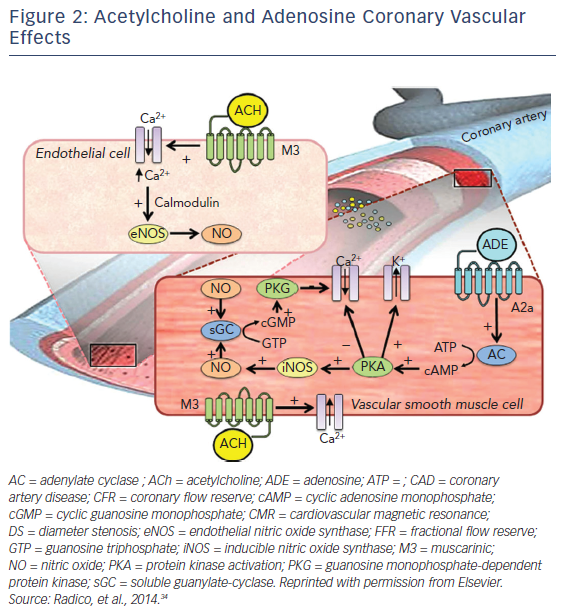Figure 2: Acetylcholine and Adenosine Coronary Vascular Effects