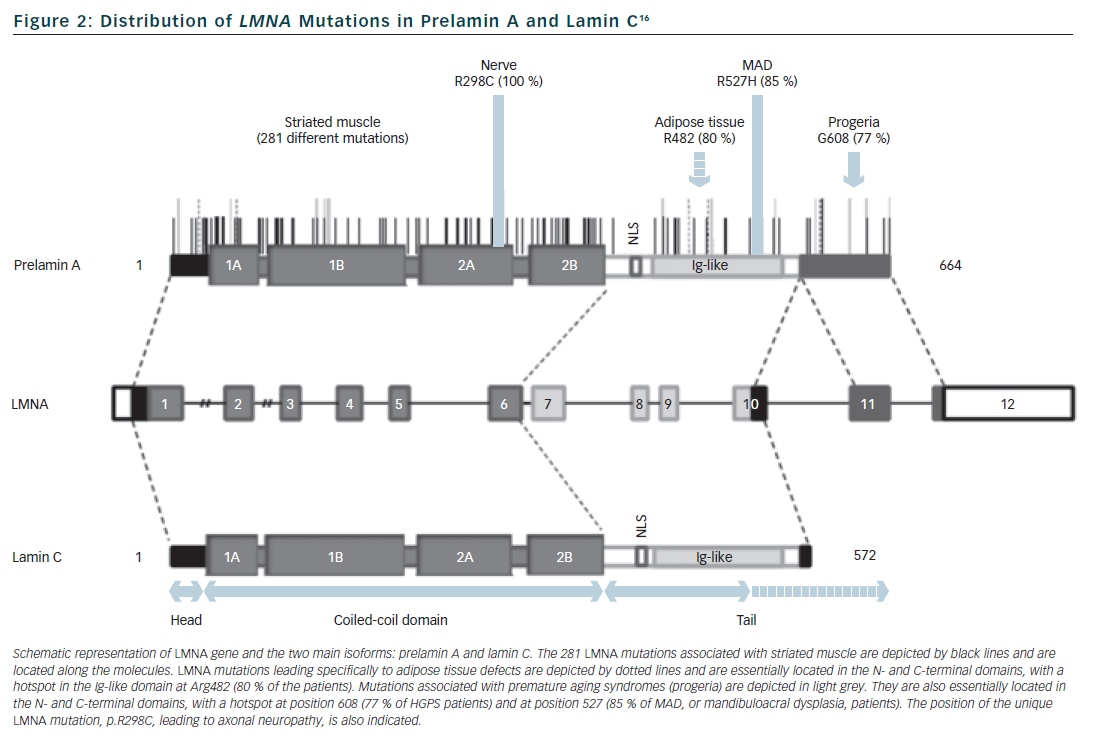 Figure 2: Distribution of LMNA Mutations in Prelamin A and Lamin C16