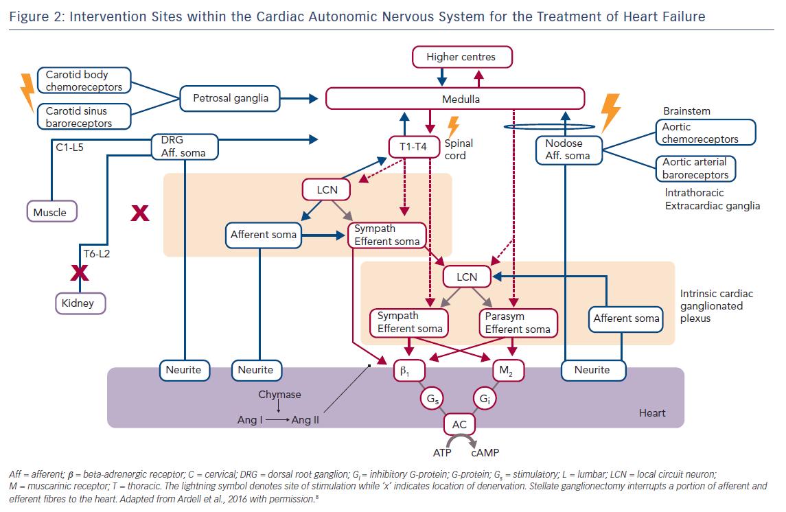 Figure 2: Intervention Sites within the Cardiac Autonomic Nervous System for the Treatment of Heart Failure