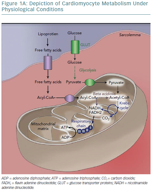 Depiction Of Cardiomyocyte Metabolism