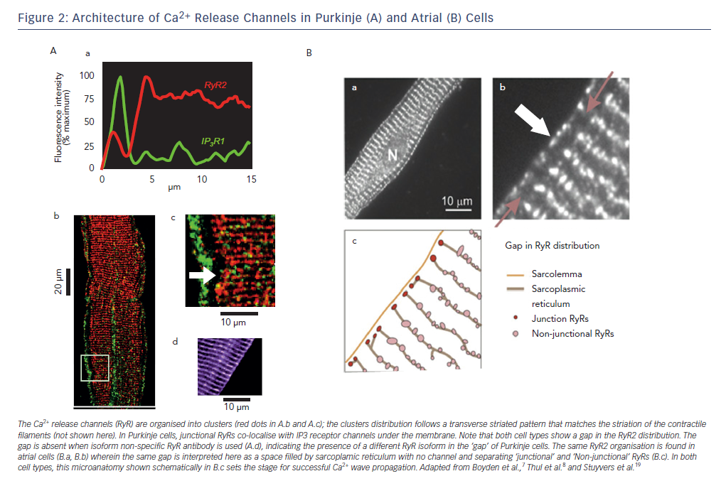 Figure 2: Architecture of Ca2+ Release Channels in Purkinje (A) and Atrial (B) Cells