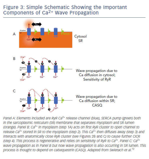 Figure 3: Simple Schematic Showing the Important Components of Ca2+ Wave Propagation