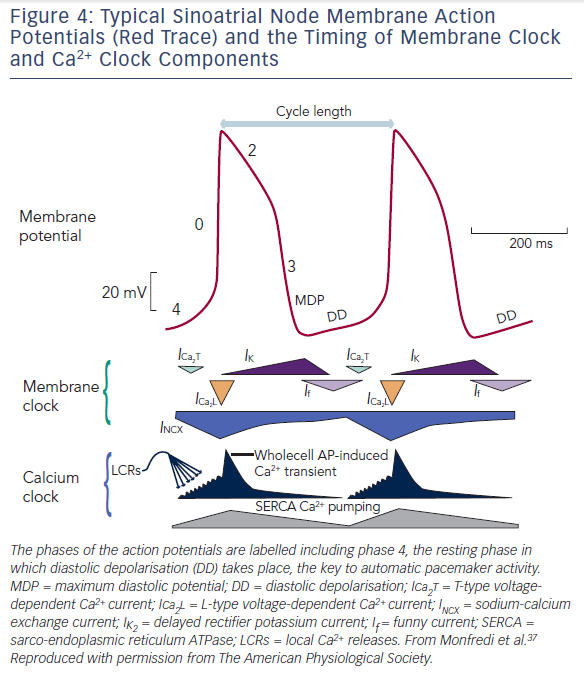 Figure 4: Typical Sinoatrial Node Membrane Action Potentials (Red Trace) and the Timing of Membrane Clock and Ca2+ Clock Components