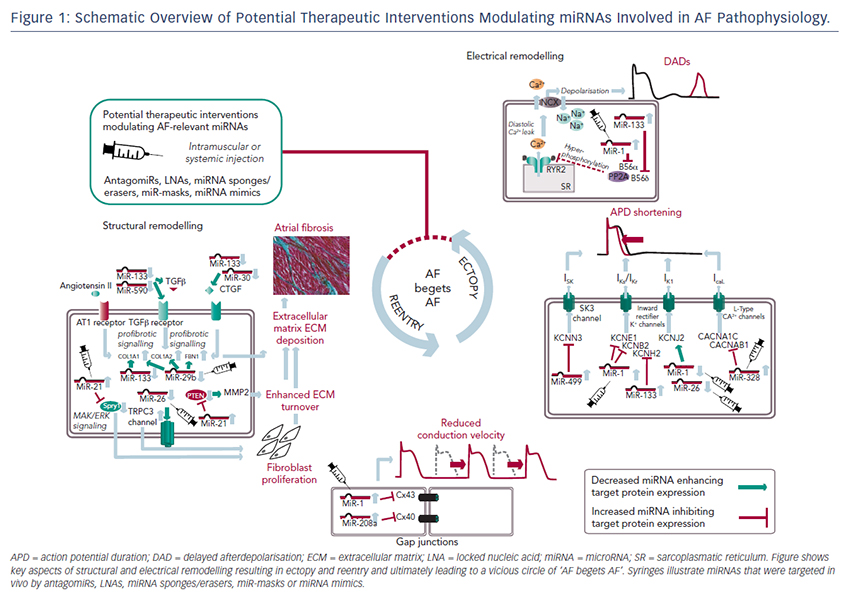 Figure 1: Schematic Overview of Potential Therapeutic Interventions Modulating miRNAs Involved in AF Pathophysiology