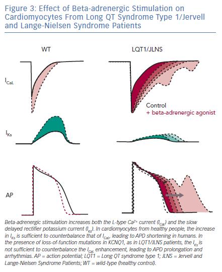 Effect of Beta-adrenergic Stimulation on Cardiomyocytes