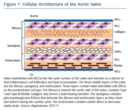 Cellular Architecture of the Aortic Valve
