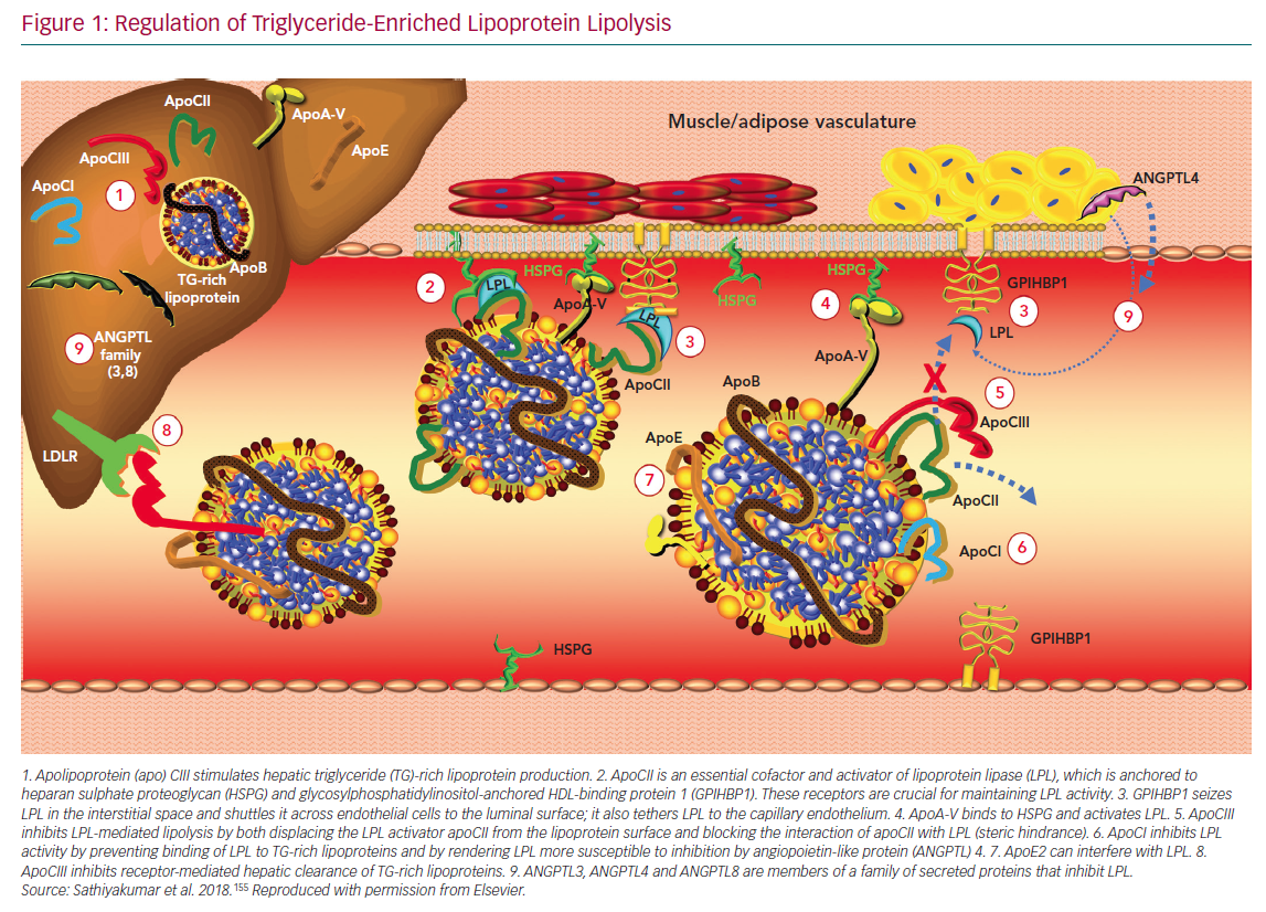 Regulation of Triglyceride-Enriched Lipoprotein Lipolysis