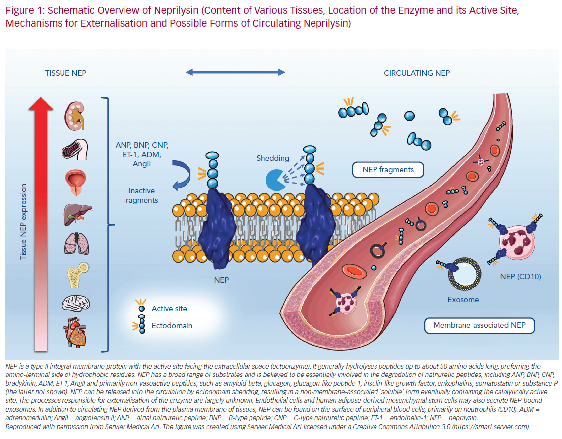Schematic Overview of Neprilysin