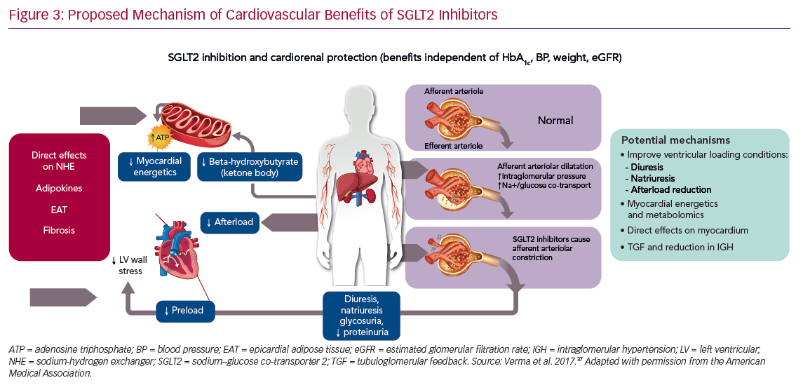 Proposed Mechanism of Cardiovascular Benefits